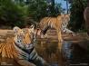 水場で休むトラ