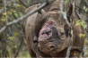 ジンバブエにある民営のサベ・バレー自然保護区をさまよっていたクロサイ。密猟者たちはこのサイに何発も銃弾を撃ち込んで、2本の角を切りとった。サイは肩の骨が砕け自分の体重を支えられなくなっていたため、安楽死させるしかなかった。アフリカではこの6年間に1000頭以上のサイが角めあての密猟者により殺された。角はアジアに密輸され、漢方薬として用いられる。