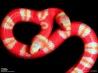 2つの頭をもつホンジュラスミルクヘビ