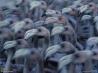 群舞するフラミンゴ 5 フラミンゴの若鳥たち