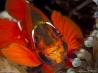 イソギンチャクに潜りこむスパインチークアネモネフィッシュ (オーストラリア/グレート・バリア・リーフ)