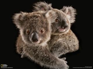 絶滅からコアラを救え