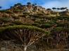 摩訶不思議なソコトラ島 2 岩山に広がるリュウケツジュの森