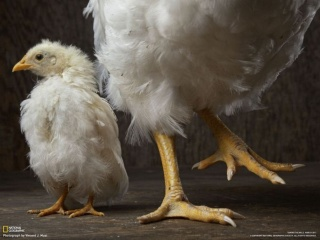 どちらも生後8週間のニワトリです