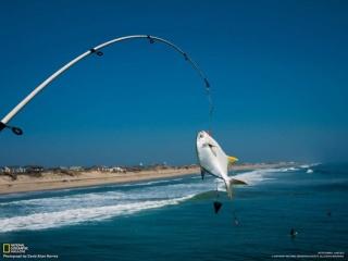 釣り上げられたコバンアジの仲間(米国ノースカロライナ州)