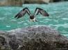 摩訶不思議なソコトラ島 7 海岸に舞い降りるカツオドリ