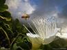花の匂いに誘われたミツバチ(ハワイ・カウアイ島)