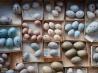 100年前の鳥の卵