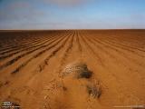 干ばつで使えない綿畑 (米国テキサス州)