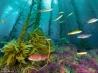ケルプ(海藻)の森を泳ぐ魚たち (米国サンディエゴ沖)