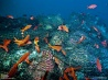 底引き網に覆われて被害を受けたサンゴ (メキシコ カリフォルニア湾)