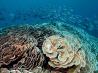 キャベツのような形をしたサンゴ (インドネシア ラジャ・アンパット諸島)