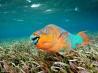 中米 メソアメリカン・リーフの生きものたち 3 藻場を泳ぐレインボー・パロットフィッシュ