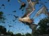 メキシコオヒキコウモリの大群(米国テキサス州)