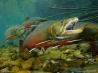 川をさかのぼって産卵するブルトラウト (カナダ)
