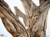 樹上で見張りをする雄のチーター