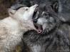 ボスにかみつく若いオオカミ