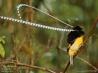 極楽鳥2:最長50センチ!触角のような飾り羽をもつフキナガシフウチョウ
