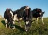 牛のげっぷに含まれるメタンガスは?