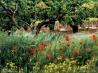 フランス・プロヴァンス地方のポピーの花畑
