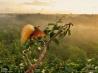 極楽鳥1:朝日を浴びて求愛のディスプレイを披露するオオフウチョウ