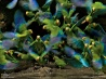 水場に集まったカラフルなインコの群れ (エクアドル・ヤスニ国立公園)