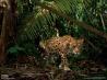 密林で獲物をさがすジャガー (エクアドル・ヤスニ国立公園)