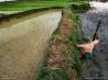 田んぼでコブラを探す男性(ベトナム)