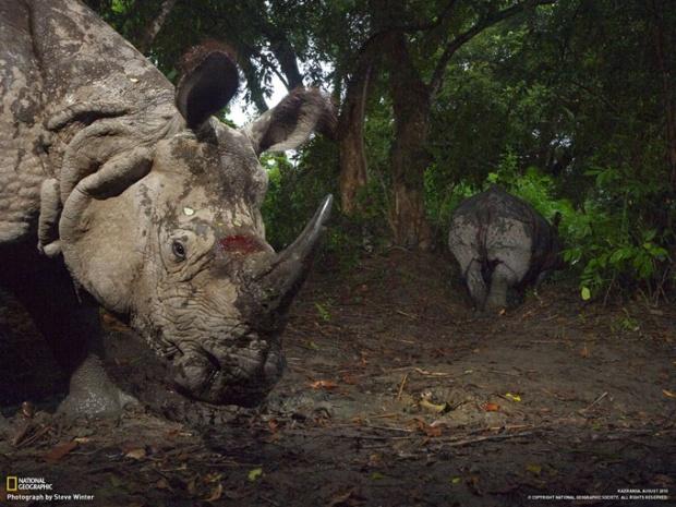 傷を負ったインドサイ (インド・カジランガ国立公園)