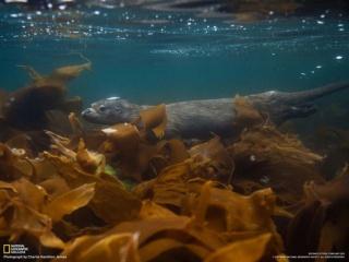ケルプ(海藻)のなかを泳ぐカワウソ (英国・シェトランド諸島沖)