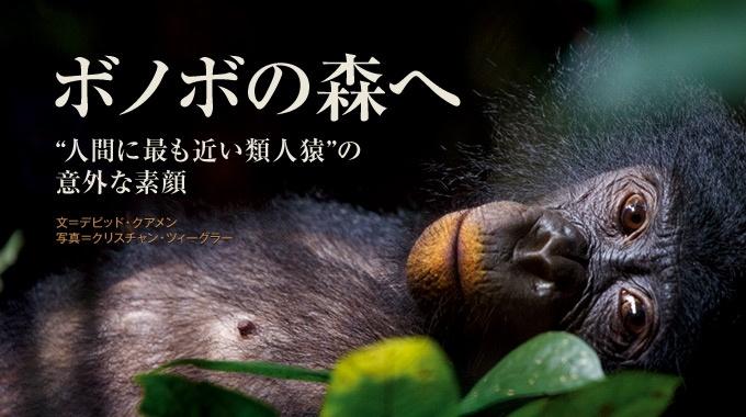 コンゴ川の左岸だけに生息し、「セックスと平和を愛する」といわれる類人猿ボノボ。近年の研究で、その意外な素顔が見えてきた。