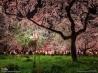 平野神社の夜桜(京都)