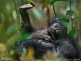 生まれつき顔が黒いボノボ(コンゴ)