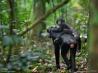 母親の背中に乗って採食場所に向かう幼いボノボ(コンゴ)