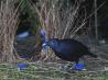 鮮やかな青色の飾りが大好きな雄のアオアズマヤドリ