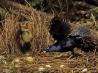 翼を広げてダンスを披露するアオアズマヤドリの雄