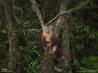 樹上で生活するキノボリカンガルーの一種