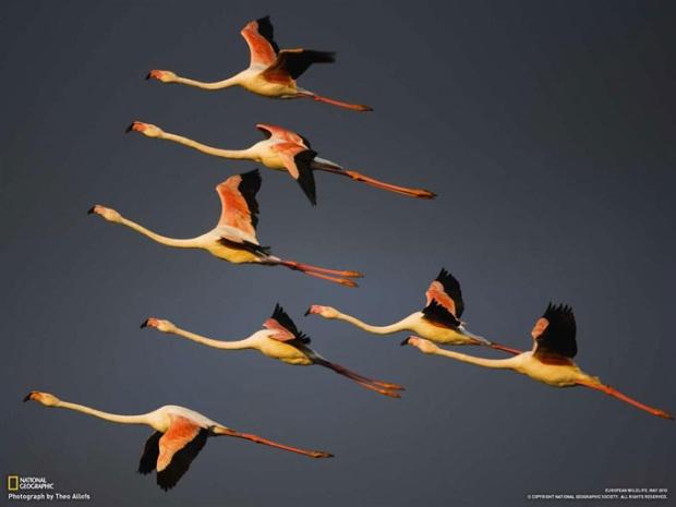 マルグ地方自然公園の空を覆い尽くすオオフラミンゴ(フランス・プロバンス)