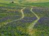 「ブランディワインの戦い」の古戦場に咲き乱れるムスカリの花(米国デラウェア州)