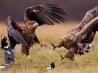 テリトリーを争う2羽のオジロワシ(ポーランド)