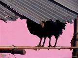 ピンク色の壁を背に立つ2羽の鳥(インド・スラト)
