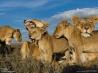 ほかの子の世話もする若いライオンたち(タンザニア)