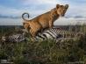肉の味を覚えたライオンの子たち(タンザニア)