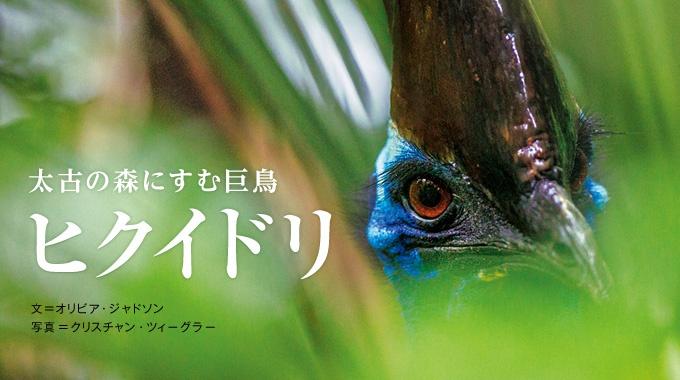 世界最古の熱帯雨林に暮らすヒクイドリのユニークな姿と生態を、世界報道写真賞2013を受賞した写真でレポートする。