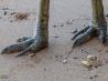 恐竜のような爪をもつヒクイドリの足