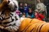 <b>アムールトラ</b><br />インディアナポリス動物園(米国インディアナ州)<br />家族連れの来園者の人気を集める、10歳のシーラ。ガラス越しとはいえ、間近に見るトラの姿は迫力満点だ。入園料の一部は保護活動に使われる。ロシア極東部に生息する野生のアムールトラの調査も、活動の一環だ。<br /><i>PANTHERA TIGRIS ALTAICA</i><br />IUCN分類:未評価