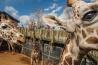 <b>アミメキリン</b><br />シャイアンマウンテン動物園 (米国コロラド州)<br />この動物園では、北米で最も多くのアミメキリンを飼育している(現在は18頭)。人懐こいキリンの体に触れたり、餌を与えたりもできる。<br /><i>GIRAFFA CAMELOPARDALIS RETICULATA</i><br />IUCN分類:未評価