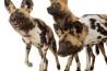 <b>リカオン</b><br />ヘンリー・ドアリー動物園・水族館(米国ネブラスカ州)<br />群れで暮らすことはリカオンにとって重要だ。2010年に別の動物園で生まれた3頭は、この動物園の群れに仲間入りするため引っ越してきた。<br /><i>LYCAON PICTUS</i><br />IUCN分類:絶滅危惧I B類