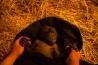 <b>ニシローランドゴリラ</b><br />シンシナティ動物園(米国オハイオ州)<br />生後5週目のゴリラの赤ちゃん。テキサス州の動物園で生まれたが、母親が子育てを放棄したため、ここシンシナティ動物園に引き取られた。当初は10人の飼育員が交替で世話をしていたが、現在は動物園の雌ゴリラが母親代わりを務める。<br /><i>GORILLA GORILLA GORILLA</i><br />IUCN分類:未評価