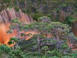 スーラ島のアカマツの林(ノルウェー)